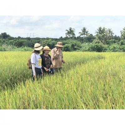 Gỡ khó trong sản xuất lúa hữu cơ